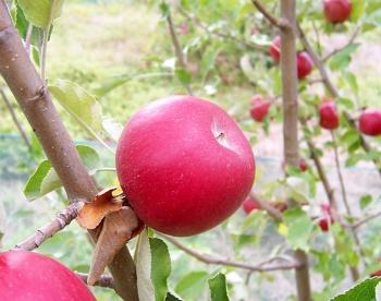 Ne hámozd meg az almát