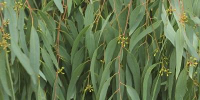 egeszsegugyelet-termeszetesen-gyogynovenyabc-eukaliptusz