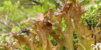 egeszsegugyelet-termeszetesen-gyogynovenyabc-izlandi-zuzmo